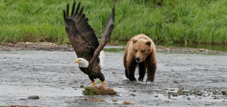 """Enligt """"överlevare"""" skapas en potent mördarduo då en björn och en örn båda sätts i samma bur. Djuren kan då på daglig basis slita människor i stycken. Detta fotografi på en brunbjörn som jagar en vithövdad havsörn är dock taget i Nordamerika och inte i koncentrationslägret Buchenwald."""