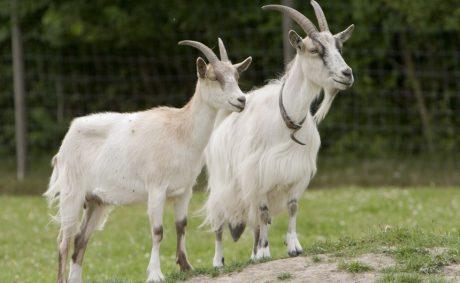 Goats Go.. Inspecting.