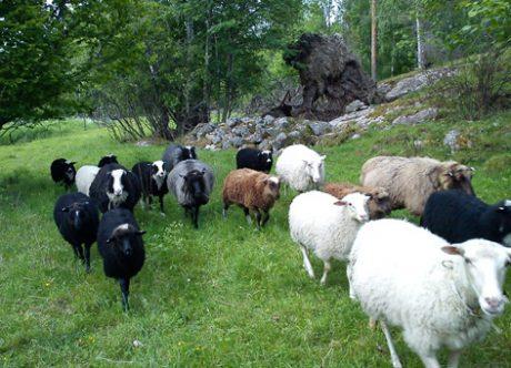Illustrationsbild. En bonde saknar 13 lamm och misstänker stöld.